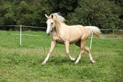 Beautiful palomino horse running on pasturage Stock Photos
