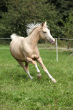 Beautiful palomino horse running on pasturage Royalty Free Stock Images