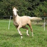 Beautiful palomino horse running on pasturage stock image