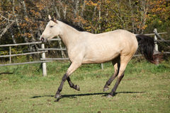 Beautiful palomino horse running on pasturage Royalty Free Stock Photography