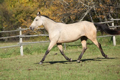 Beautiful palomino horse running on pasturage Royalty Free Stock Photos