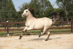 Beautiful palomino horse running Royalty Free Stock Photography