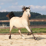 Beautiful palomino horse running Stock Photos