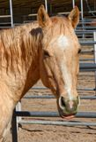 Beautiful Palomino Horse At Stable. A beautiful palomino pauses for a portrait on a sunny day Stock Image