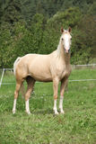 Beautiful palomino horse standing on pasturage Royalty Free Stock Photos