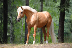 Beautiful palomino horse stands in the meadow. In forest Royalty Free Stock Photos