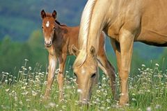 Free Beautiful Palomino Mare With Few Week Old Foal Grassing At Summer Pasture Stock Photo - 118002170