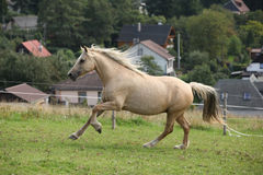 Beautiful palomino mare wunning on pasturage Stock Photos