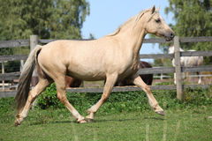 Beautiful palomino mare wunning on pasturage Royalty Free Stock Photography