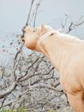 Beautiful palomino stallion of quarterhorse breed Royalty Free Stock Photos