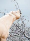 Beautiful palomino stallion of quarterhorse breed Royalty Free Stock Images