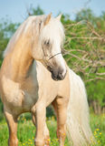 Beautiful palomino welsh pony in blossom field Royalty Free Stock Photos