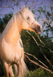 Beautiful palomino welsh pony Royalty Free Stock Images