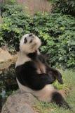 Beautiful panda relaxing  in Ocean Park Royalty Free Stock Photo