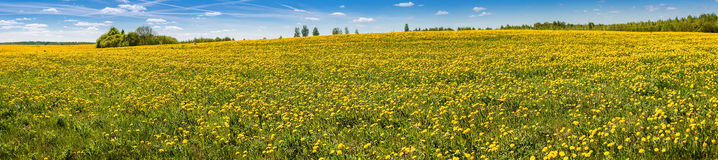 Beautiful panorama: the dandelion field and blue sky. Royalty Free Stock Images