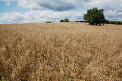 Beautiful panorama with a field and sky. Field, trees and cloudy sky Royalty Free Stock Photography