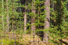 Beautiful panorama of pine forest with summer day. Coniferous trees. Sustainable ecosystem Stock Image