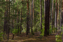 Beautiful panorama of pine forest with summer day. Coniferous trees. Sustainable ecosystem. Beautiful panorama of pine forest with sunny summer day. Coniferous royalty free stock image