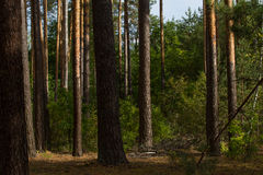 Beautiful panorama of pine forest with summer day. Coniferous trees. Sustainable ecosystem. Beautiful panorama of pine forest with sunny summer day. Coniferous Stock Photo