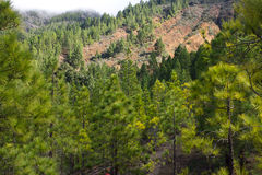 Beautiful panorama of pine forest with sunny summer day. Coniferous trees. Sustainable ecosystem. Tenerife, Teide Stock Photography