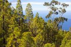 Beautiful panorama of pine forest with sunny summer day. Coniferous trees. Sustainable ecosystem. Tenerife, Teide Royalty Free Stock Photography