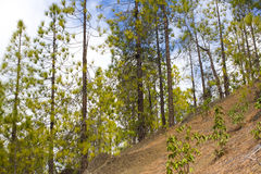Beautiful panorama of pine forest with sunny summer day. Coniferous trees. Sustainable ecosystem. Tenerife, Teide Royalty Free Stock Photos