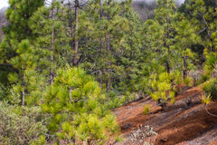 Beautiful panorama of pine forest with sunny summer day. Coniferous trees. Sustainable ecosystem. Tenerife, Teide Stock Images