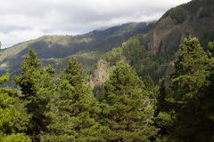 Beautiful panorama of pine forest with sunny summer day. Coniferous trees. Sustainable ecosystem. Tenerife, Teide Stock Image