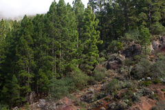 Beautiful panorama of pine forest with sunny summer day. Coniferous trees. Sustainable ecosystem. Tenerife, Teide. Beautiful panorama of pine forest with sunny Stock Photos