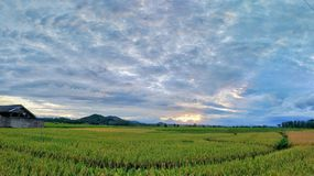 Beautiful panorama or ricefield landscape view during sunset royalty free stock photo