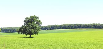 Beautiful panorama with summer landscape with lonely tree. Against a background of green grass and blue cloudless sky in good weather stock image