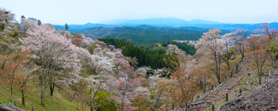 Beautiful panoramic landscape of thousands of cherry trees flowering on Mount Yoshino in Nara, Japan Royalty Free Stock Images