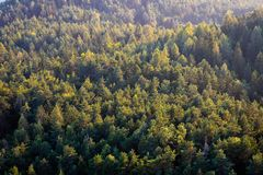 Beautiful panoramic photo over the tops of pine forest. Aerial view. royalty free stock photo