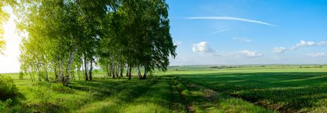 Beautiful panoramic view of birches and green fields at sunset stock images
