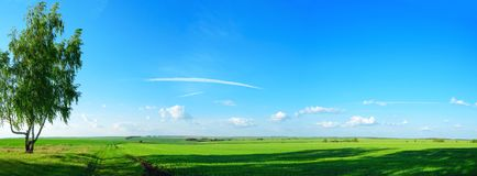 Beautiful panoramic view of lonely growing birch tree and green fields at sunset royalty free stock images