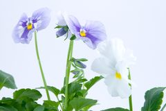 Beautiful pansies Stock Images