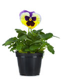 Beautiful pansies in flowerpot isolated on a white Royalty Free Stock Photography