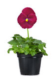 Beautiful pansies in flowerpot isolated on a white Stock Photography