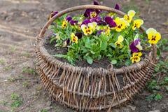 Beautiful pansies planted in basket Stock Image