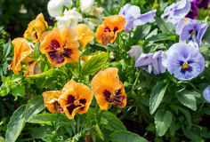 Beautiful Pansies or Violas growing on the flowerbed in garden. Garden decoration Royalty Free Stock Image