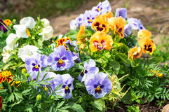 Beautiful Pansies or Violas growing on the flowerbed in garden. Garden decoration Stock Images