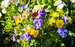 Beautiful Pansies or Violas growing on the flowerbed in garden. Garden decoration Stock Photography