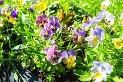 Pansies or Violas growing on the flowerbed in summer g. Beautiful Pansies or Violas growing on the flowerbed in summer garden Stock Images