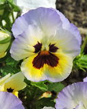 Beautiful pansy flower Royalty Free Stock Images