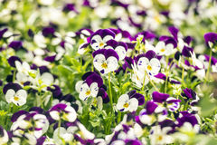 Beautiful pansy flowers in garden Stock Photos