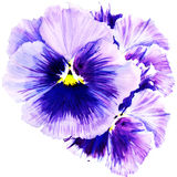 Beautiful pansy flowers isolated on white background Royalty Free Stock Image