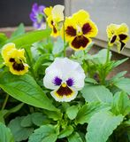 Beautiful pansy flowers in summer garden park royalty free stock photography
