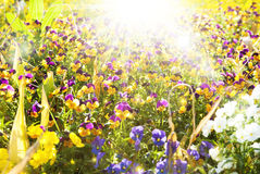 Beautiful pansy flowers summer sunny background Stock Photo
