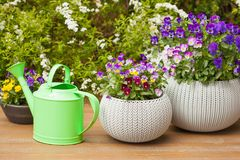 Beautiful pansy summer flowers in flowerpots in garden Stock Photo