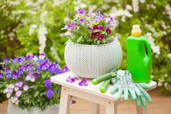 Beautiful pansy summer flowers in garden, fertilizer, gloves, to Royalty Free Stock Image